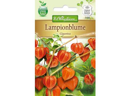 Physalis Lampionblume Gigantea