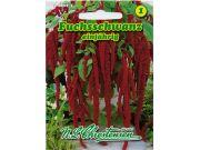 Amaranthus caudatus - Fuchsschwanz